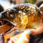 まんぷく22話感想ネタバレ有り!萬平は川に電気を流して魚を大量ゲットする!